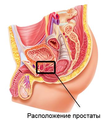 Предстательная железа: расположение простаты и нормальный размер ...